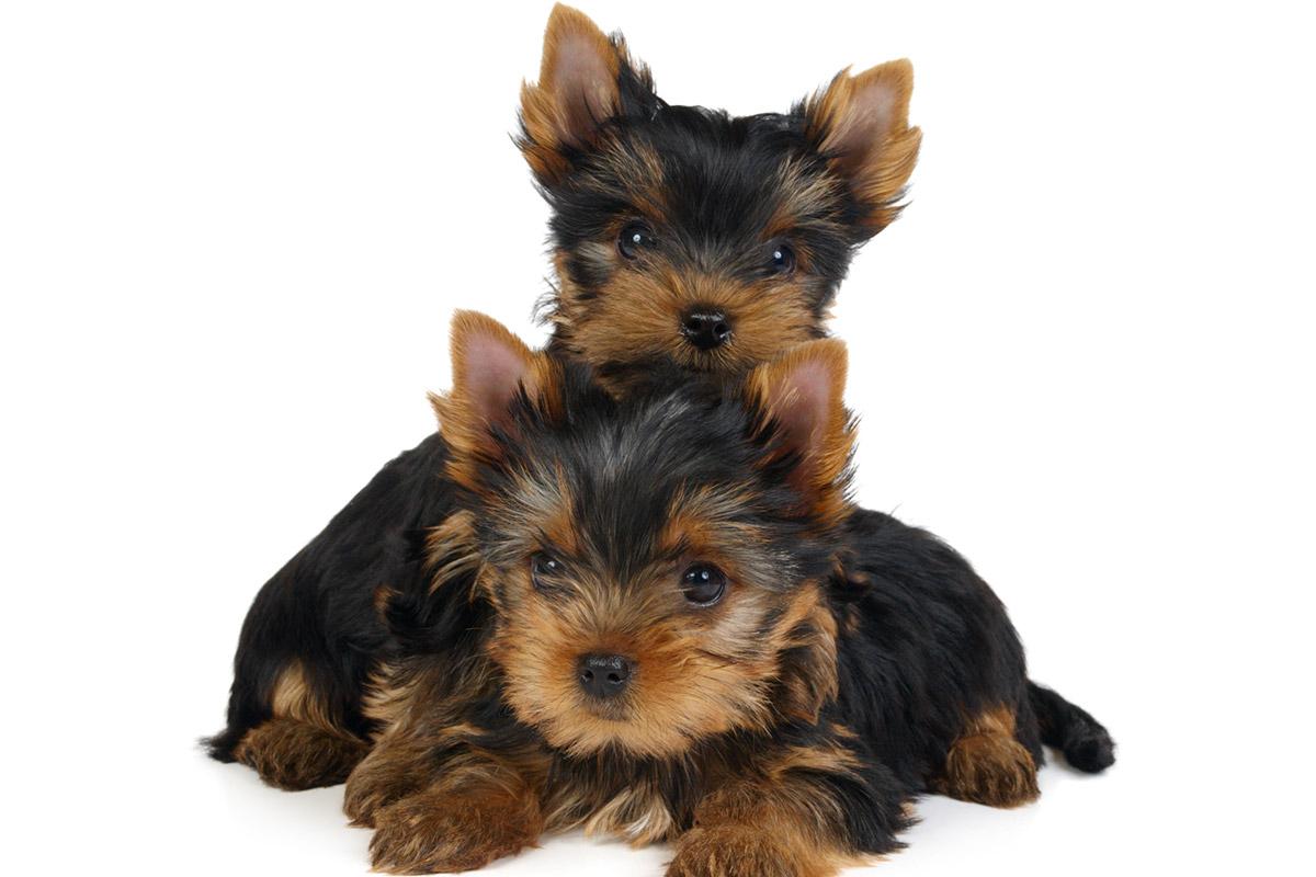 Cachorros VIP, alta selección de crías de bichón maltés